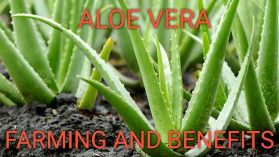 aloevera,aloe vera,aloe vera gel,aloe-vera,aloe_vera,aloevera oil,aloevera jel,aloevera facial,review aloevera,alovera gel,aloevera farming,aloevera terbaik,aloevera ki kheti,aloevera benefits,aloevera fertilizer,cara buat gel aloevera,aloevera oil hair loss,homemade aloevera gel,aloevera for hair growth,aloevera bagus dan murah,aloevera oil for hair fall,aloevera contract farming,amazing homemade aloevera