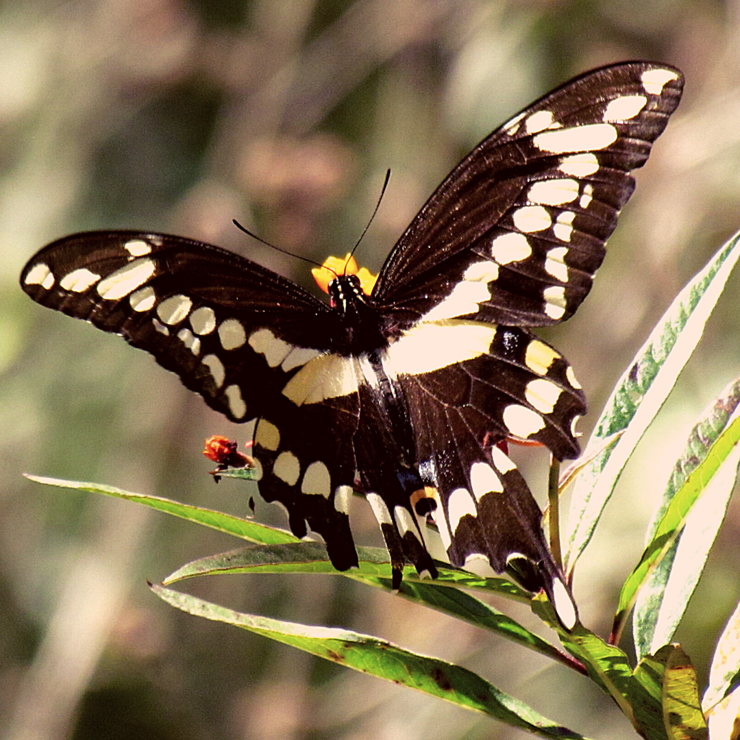 Black, white, and yellow Florida Swallowtail Butterfly pollinating butterfly flowers in the meadow at Hammock Park in Dunedin, Florida