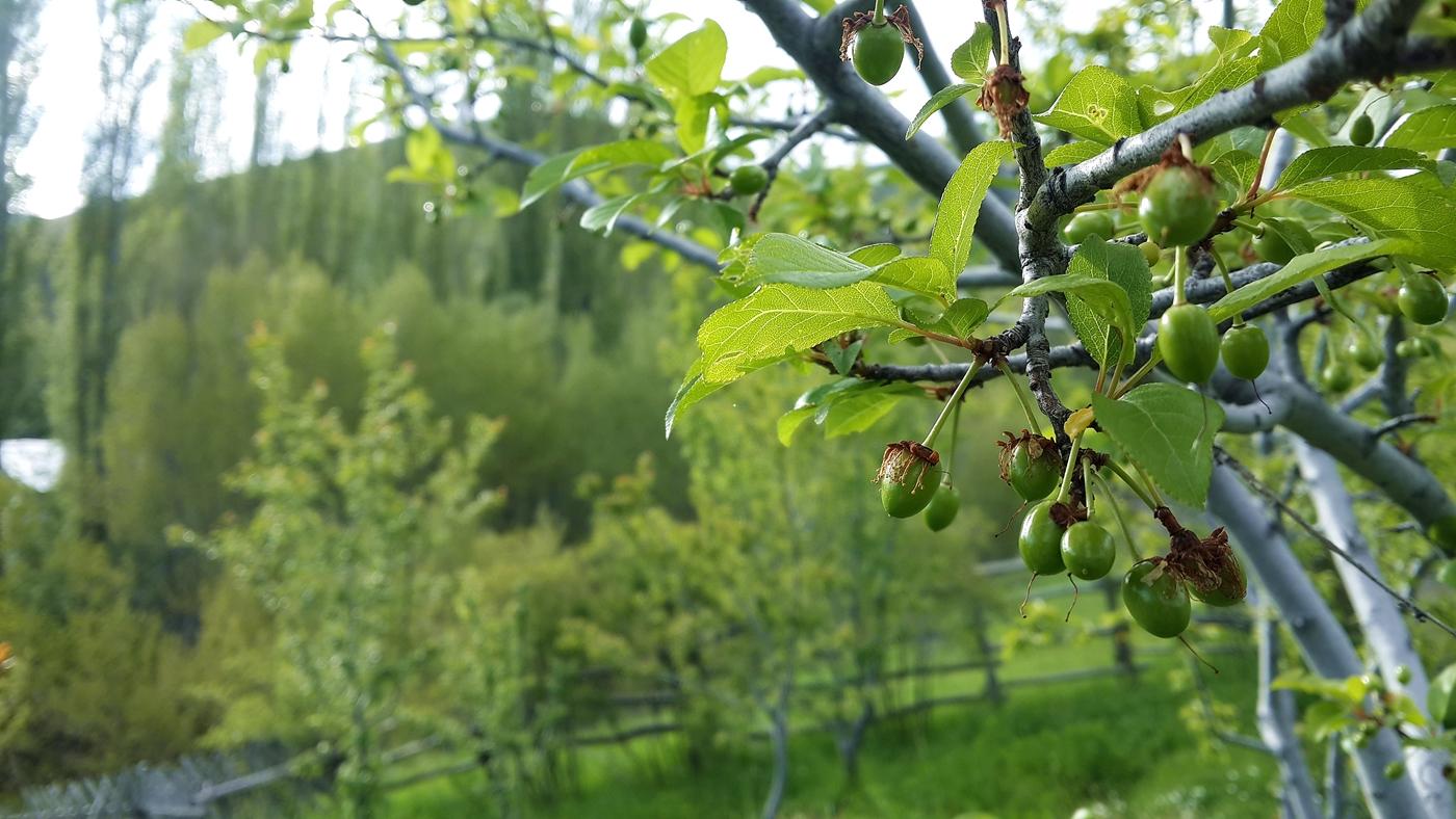 Immature Plums, Plum Tree