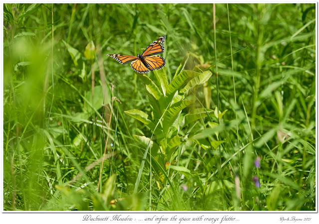 Wachusett Meadow: ... and infuse the space with orange flutter...