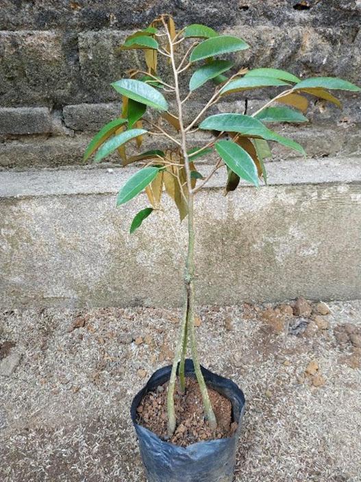 BIBIT DURIAN MONTONG kaki 3 okulasi siap berbuah bisa tabulampot Sumatra Selatan