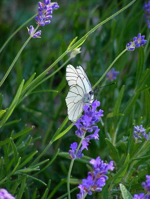 Black-veined White Aporia crataegi on lavender.  Indre et Loire, France. Photographed by Susan Walter. Tour the Loire Valley with a classic car and a private guide.