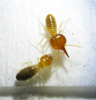 major soldier of this small red Nasutitermes with a worker