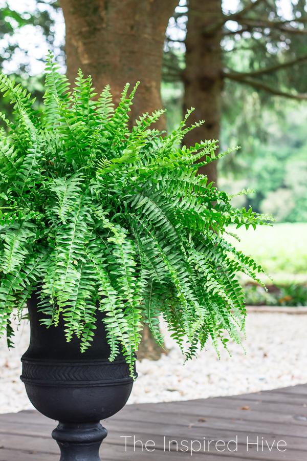 Boston fern in black urn planter