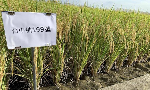 台中秈199號水稻育成 抗白葉枯病之秈稻新品種