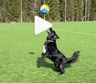 Amazing Dog playing Volleyball