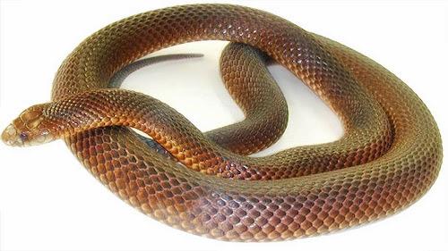 Cobra Marrom do Leste