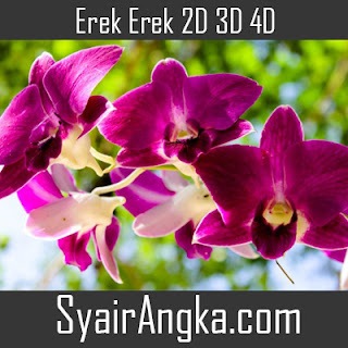 Erek Erek Bunga Anggrek 2D 3D 4D