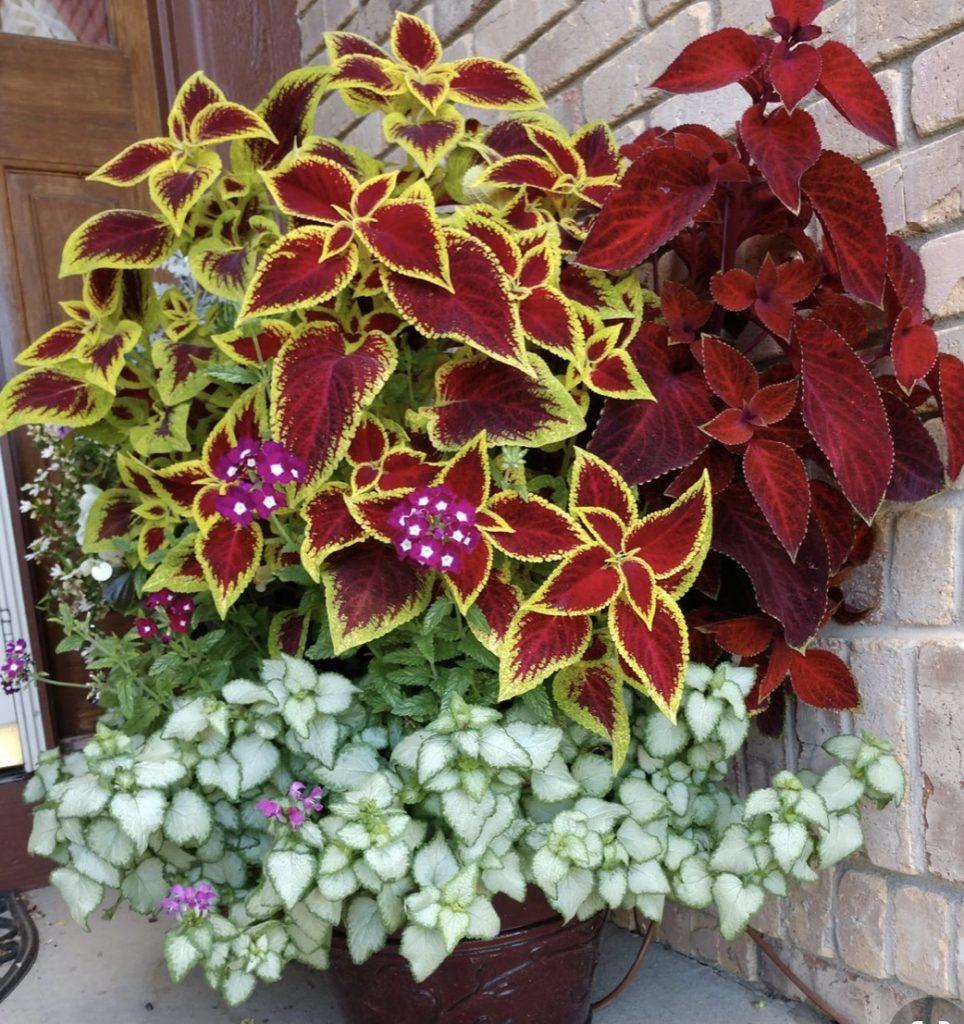 نبتة السجادة من أجمل النبتات المنزلية وطريقة الاعتناء بها