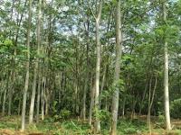 Tips Jitu Menanam Pohon Sengon Dengan Benar dan Baik