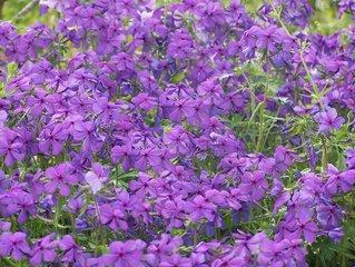 https://1.bp.blogspot.com/-CFKuj8kimlk/WnTrsCfL-HI/AAAAAAAAL0s/FDHJJJxQJqMwEldnRr7vnB7C5HXc8p0HQCLcBGAs/s1600/violets-1359758.jpg