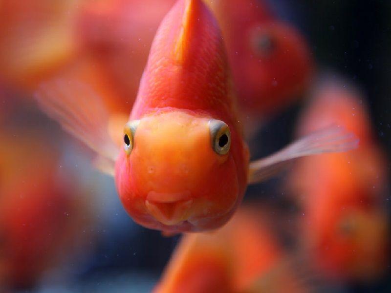 Gambar Mulut Serta Harga Ikan Parrot, Asal Usul Dan Cara Merawatnya