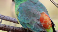 Red rumped Parrot mobile wallpaper | Bird Picture