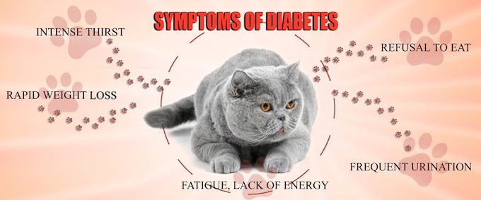 Diet For Feline Diabetes - 07 Important Steps Guide