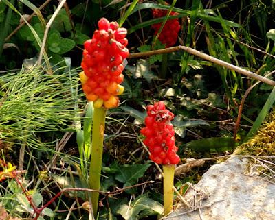 Frutos rojos y venenosos de Arum italicum