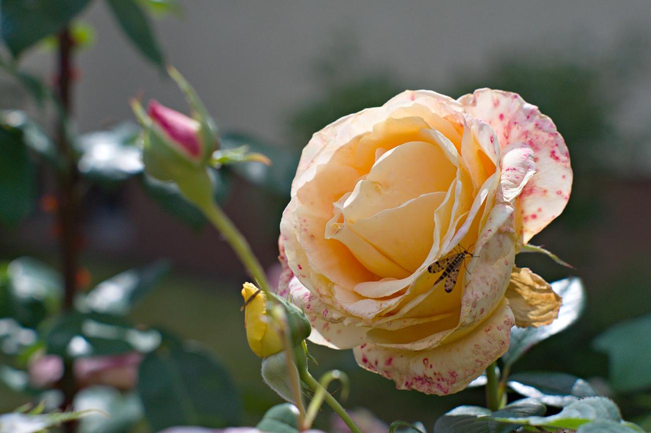 Zum Tagesabschluss -- Bild des Tages #132 — Rose mit Insekt