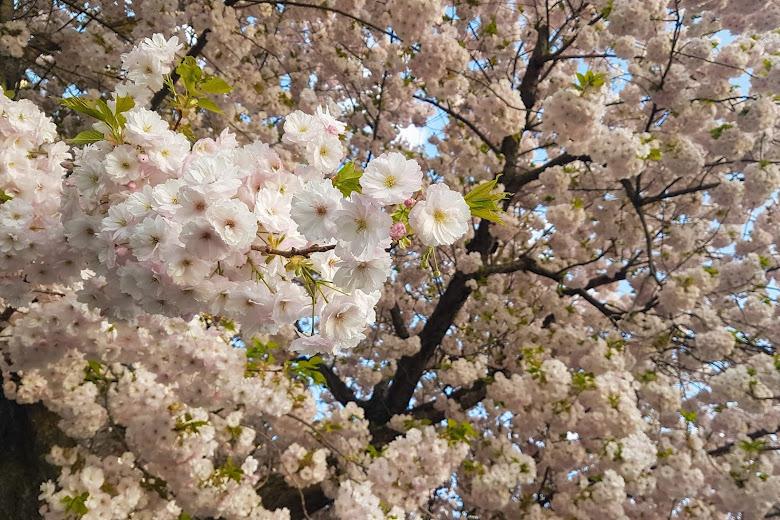 櫻花櫻花櫻花