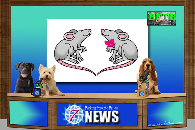 BFTB NETWoof dog news desk with rat story on backdrop