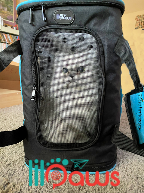 silver Persian Cat, Truffle, demonstrating the Lil-Paws carrier as a backpack