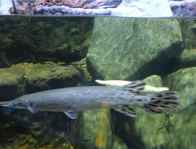 Singapore SEA Aquarium Alligator Gar Fish