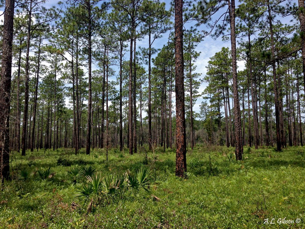 Longleaf Pine Stand Set Against A Beautiful Blue Florida Sky