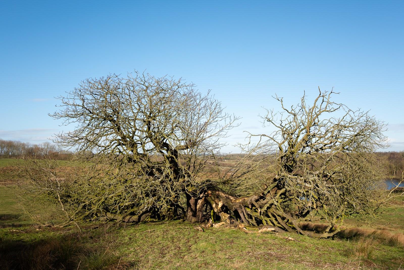 Old tree - Mavis Enderby