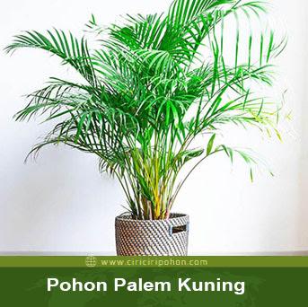 ciri ciri pohon palem kuning