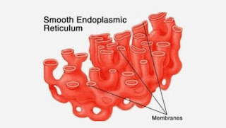 Endoplasmic Reticulum : Structure & Functions | Types | Features