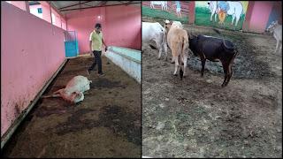 गोशाला में दिखी बड़ी लापरवाही, गंदगी का आलम, दुषित पानी गाय को पिलाया जा रहा है, दो गाय मृत