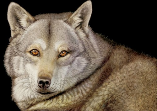 00-Wolf-Heather-Lara-Hyper-realistic-Animal-Scratchboard-Drawings-Wildlife-www-designstack-co