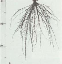 Gambar Pertumbuhan akar padi