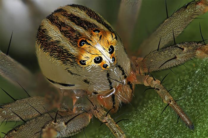 14th place: Female spider-oxyop or spider-lynx