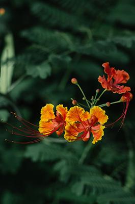 http://scenesofbarbados.tumblr.com/post/133367738606/barbados-national-flower-the-pride-of-barbados