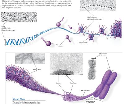 protein histon, nuklrosom, kromatid, kromatin, Tahapan packing DNA hingga membentuk Kromatin / kromosom protein histon, nuklrosom, kromatid, kromatin, ujung histon, ujung histon yang seringkali ditempeli gugus kimia, inisiasi transkripsi dari ekukariotik, transcription factor, enhancer, intron splicing pada gen troponin, Regulasi ekspresi gen eukariotik pada post-transkripsi, inisiasi translasi mRNA,  protein siklin (cyclin),