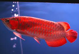 Jenis Ikan Hias Arwana Super Red Dan Harganya Di Pasaran
