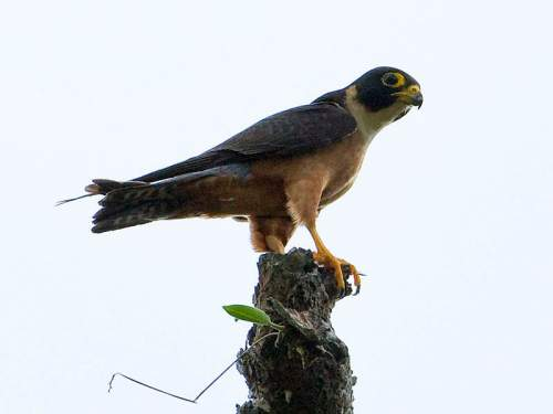 Indian birds - Image of Oriental hobby - Falco severus
