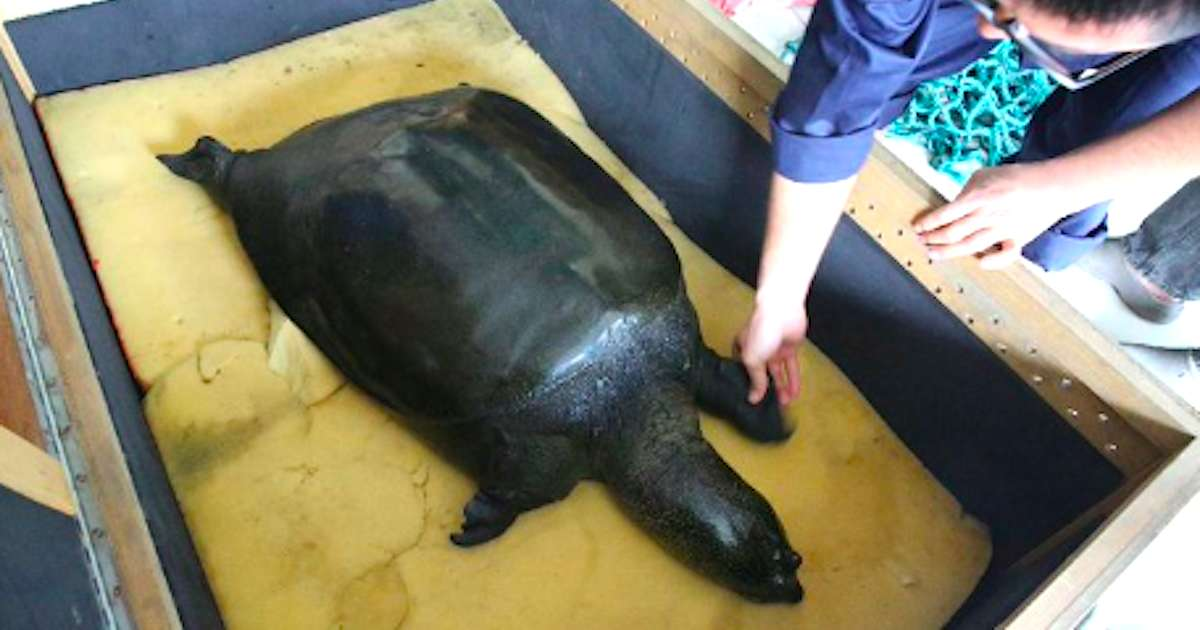 The Last Female Yangtze Giant Softshell Turtle Passed Away