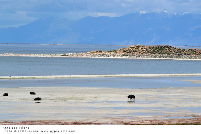 buffalo in the water at Antelope Island