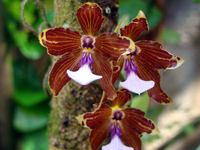 Orquídea Miltonia kayasimae