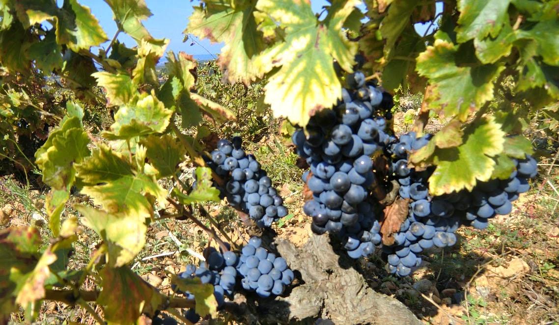 Grapes of Châteauneuf-du-Pape