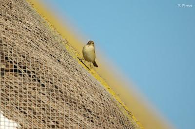 Mosquitero en el tejado de una casa tradicional del Delta del Ebro