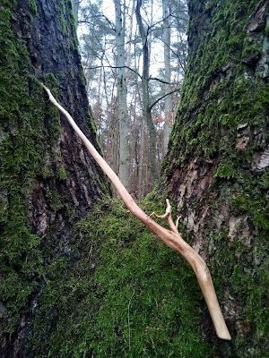 Różdżka z korzenia dębu, Oak Wood Wand