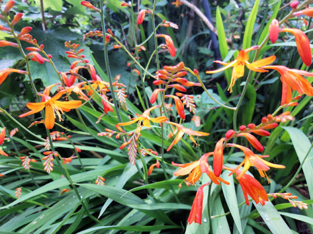 Orange and yellow crocosmia flowers against a background of green sword-like leaves