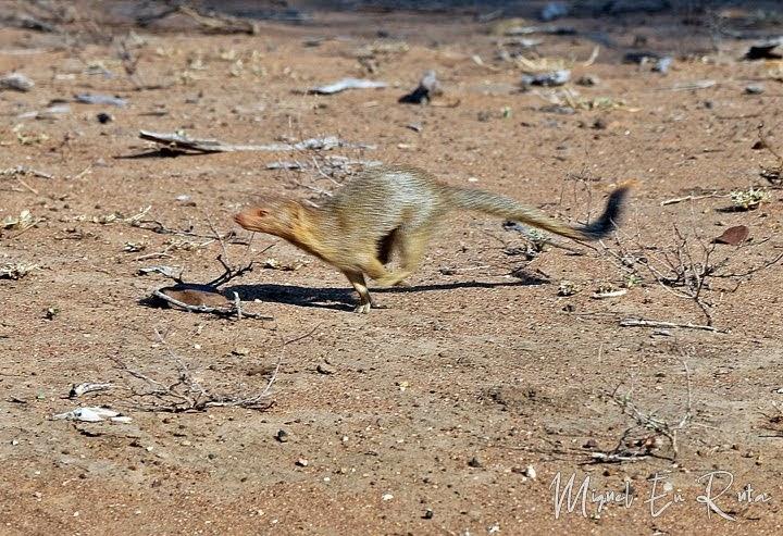 Mangosta en Kruger, Sudáfrica