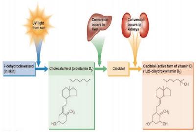 Metabolisme Vitamin D