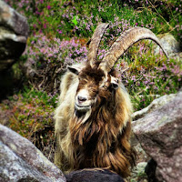 Images of Ireland: Grinning goat at Glendalough in County Wicklow