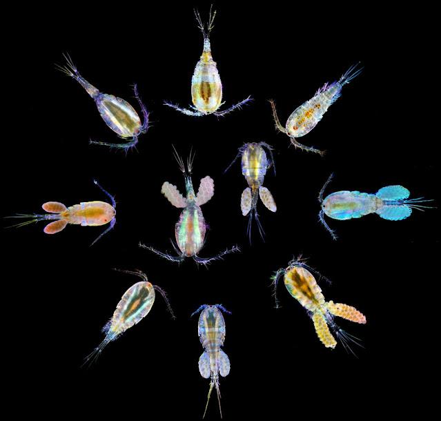 Invertebrata yang hidup di air laut dan air tawar dan merupakan salah satu hewan dengan peran terpenting adalah Copepoda.   Copepoda (krustasea kecil) adalah penghubung antara kehidupan fotosintesis di laut atau kolam dengan jaringan makanan air lainnya. Copepoda adalah konsumen utama yang merumput ganggang di perairan laut maupun kolam. Organisme ini (Copepoda), di antara hewan multisel merupakan organisme paling banyak melimpah di Bumi.   Copepoda kemudian dikonsumsi oleh berbagai predator kecil air, kemudian predator kecil juga dimakan oleh predator yang lebih besar, dan seterusnya. Hampir semua kehidupan hewan di lautan bergantung pada copepoda, baik secara langsung maupun tidak langsung.   Meskipun manusia tidak memakan copepoda secara langsung, namun sumber makanan kita dari laut akan hilang tanpa adanya peran copepoda.
