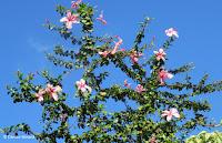 Pink hibiscus tree, Diamond Head State Monument trail - Oahu, HI