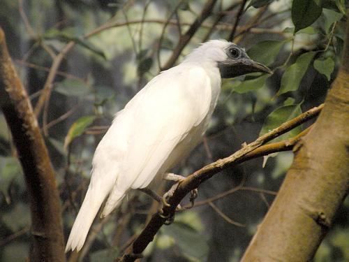 Araponga ou Ferreiro (Procnias nudicollis)
