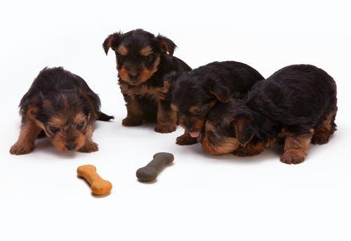 Coprophagie chez les chiens: pourquoi les chiens mangent-ils leur merde?